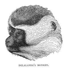 Delalande's Monkey