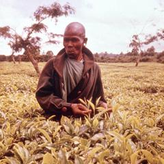 Kikuyu Small Farm Holder