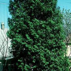 White cedar an evergreen tree