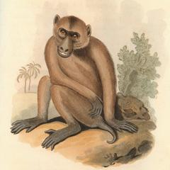 The Pig-Tailed Baboon
