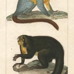 Douroucouli and Saki Print
