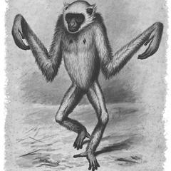 Bipedal Gibbon Print