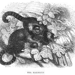 The Marmozet