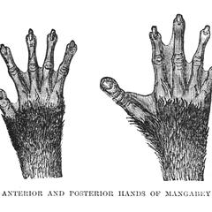 Anterior and Posterior Hands of Mangabey