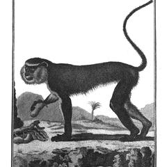 Le Mona (Mona monkey)