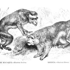 Bonnet Macaque and Rhesus
