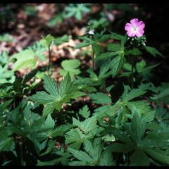 Geranium maculatum in bloom in Gallistel Woods, University of Wisconsin–Madison Arboretum