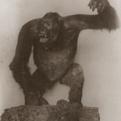 Carl Akeley Taxidermed Gorilla Print
