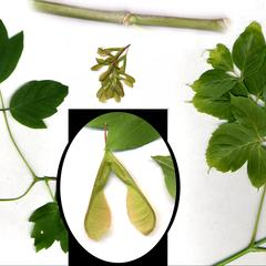 Composite of trifoliolate leaves, fruits and green stem of box elder