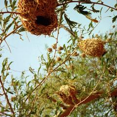 Close-up of Nests of Weaver Birds