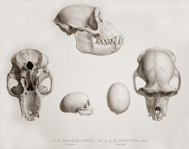 Macaque Oursine et Macaque Ordinaire