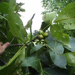 Carya ovata - fruiting bough
