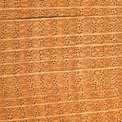 Ring-porous wood of oak