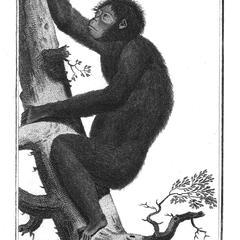 Le Jocko ou Orang-outan de la petite espece  (Le Jocko orangutan small species)