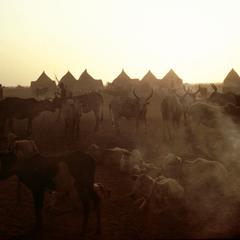 Cattle at Dusk