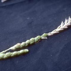 F1 hybrid of Chalco Teosinte and corn