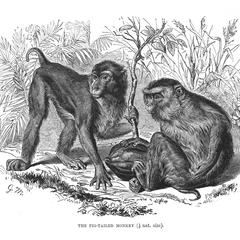 The Pig-Tailed Monkey (1/9 nat. size)