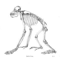 Squelette d'orang (Orangutan skeleton)