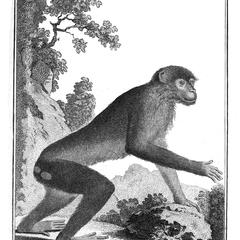 Le Magot vu de cote (Barbary Macaque seen from the side)