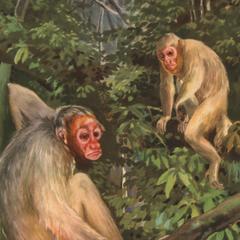 "Cacajao calvus (lower monkey), Cacajao ""albus"""