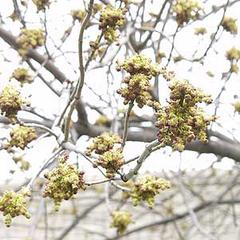 White ash in flower