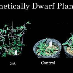 Genetically dwarf plants of pea and corn - GA treated and controls