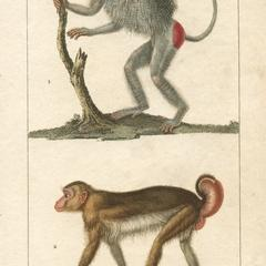 Hamadryas and Macaque Print