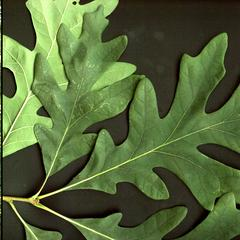 Trunk and leaf of white oak