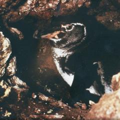 Galápagos Penguin (Sphenicus mendiculus)