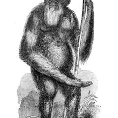 Adult Bornean Orang, Male, from M. Temminck