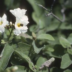 Cordia boissieri in Mexican shrub desert south of Brownsville, Texas