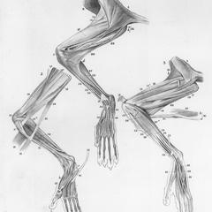 Hindlimb muscles of a male Aye-aye