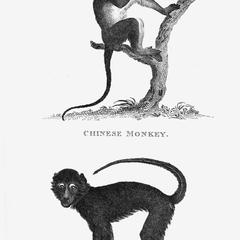 Chinese Monkey and Mangabey