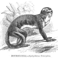 Douroucouli