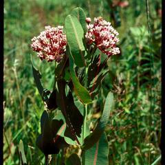 Asclepias sullivantii, Faville Prairie, State Natural Area