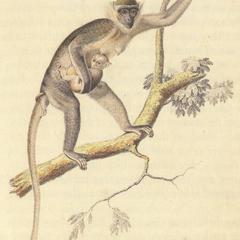 Parenting Capuchin Print
