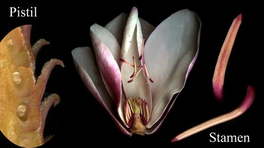 Dissected flower with stamens with longitudinal section of a pistil of Magnolia X Soulangiana