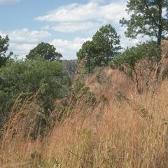 Pine on hillside, with grass understory, above El Tablón