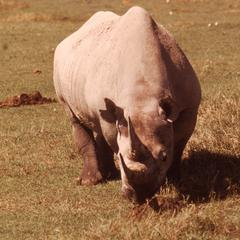 Rhinoceros in Ngorongoro Crater