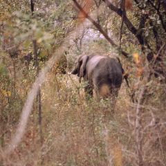 Elephant among trees