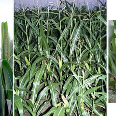 Zea mays - Composite : male and female inflorescences with flowering habit