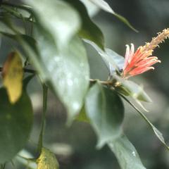 Aphelandra (Acanthaceae)