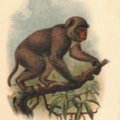 St John's Macaque
