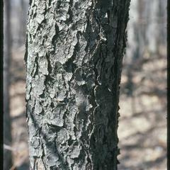 Prunus serotina bark, Cactus Bluff Woods, Ferry Bluff, State Natural Area