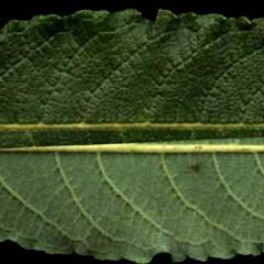 Leaf back and front of Salix bebbiana