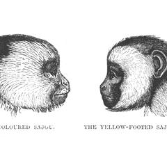 The Coloured Sajou and The Yellow-Footed Sajou