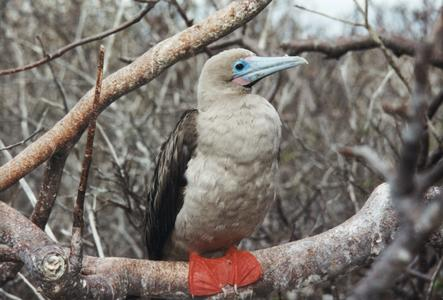 Red Footed Booby (Sula sula) in an Incense Tree (Bursera graveolens)