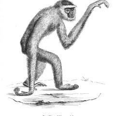Gibbon cendré (Ash gibbon)
