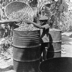 Pouring in the Palm Nuts to Cook for Making Oil
