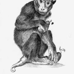 Pig-Tailed Baboon